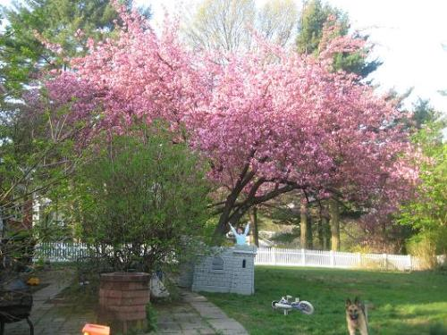 Briarcliff Cherry Blossoms
