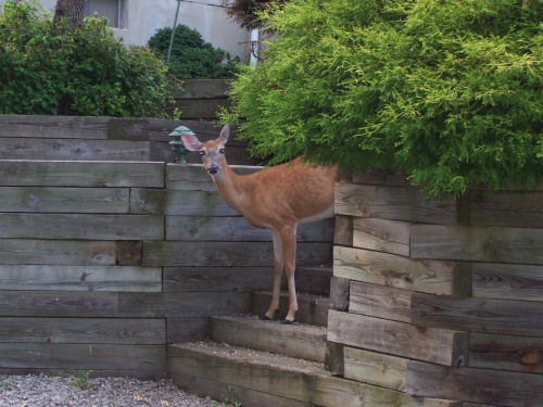 Deer Peeking Out
