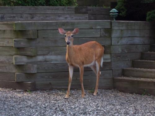 Deer Notices Me