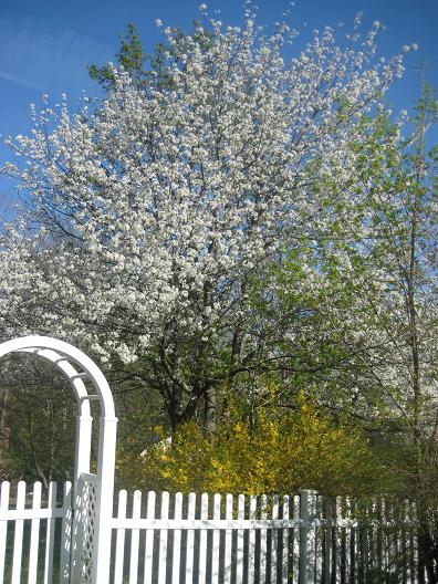 Blossoming tree and forsythias