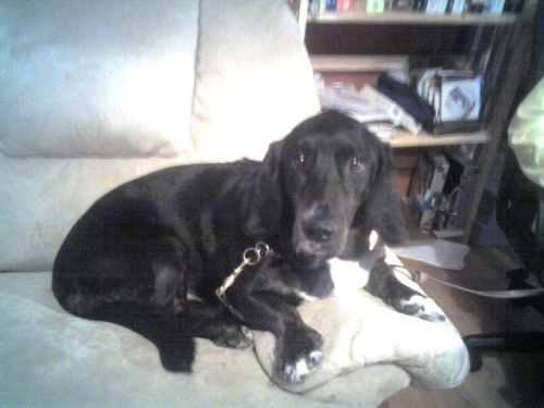 Millwood, NY: Labrador Bassett Hound Mix | J. Philip's New York Photo ...