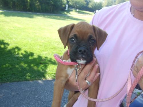 boxer-puppy